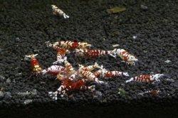 画像3: ☆SALE☆ <当店ブリーダー> Tiger bee shrimp (太極) 画像の水槽からノーマルグレード 1pr