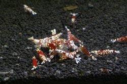画像4: ☆SALE☆ <当店ブリーダー> Tiger bee shrimp (太極) 画像の水槽からノーマルグレード 1pr