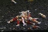 <当店ブリーダー> Tiger bee shrimp (太極) 画像の水槽からミドルグレード 1pr