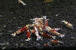 画像1: ☆SALE☆ <当店ブリーダー> Tiger bee shrimp (太極) 画像の水槽からノーマルグレード 1pr